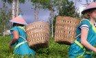 Agrowisata Perkebunan Teh Tambi
